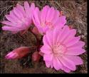 Bitterroot Blooms