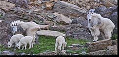 Mountain goats near Logan Pass